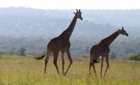 Akagera National Park is on the border of Tanzania at a relatively low altitude and is more hilly then most national parks in Rwanda's neighbouring […]