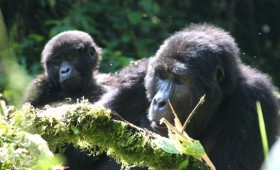 I'll admit, it took me well over a year to actually make it up to Ruhengeri (Musanze) to do gorilla trekking, but if you are […]