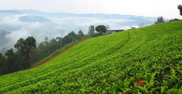 Sorwathe Tea Plantation