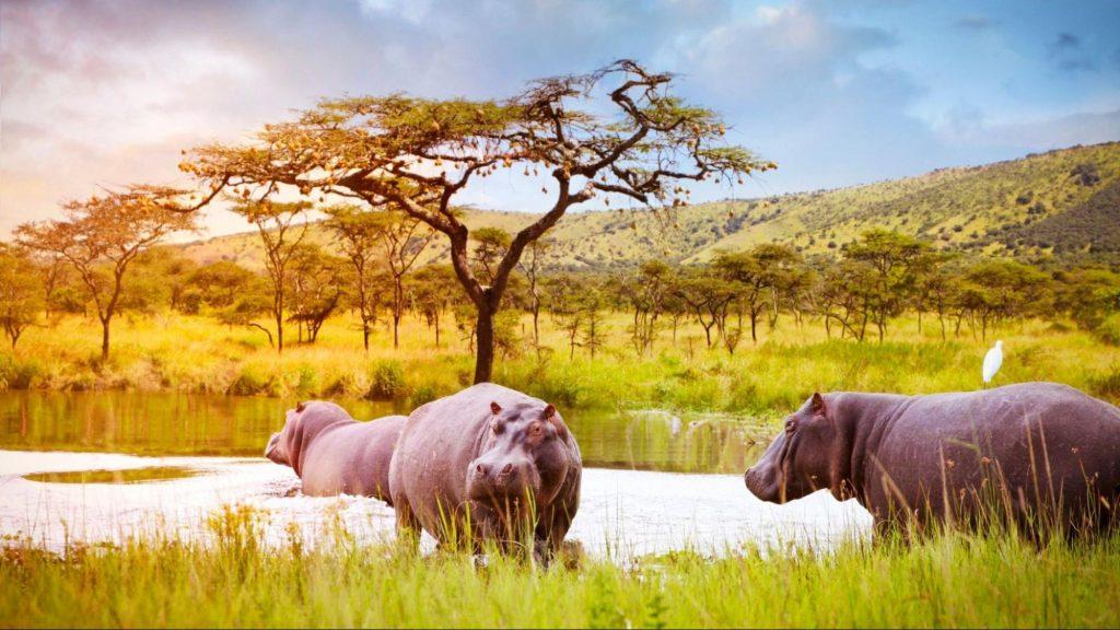 Akagera Hippos