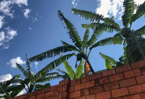 Banana Trees, Kigali, Rwanda